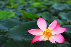 Imagen de HDR para la flor real fotografía de archivo libre de regalías