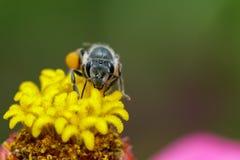 Imagen de la abeja en el polen insecto Fotos de archivo