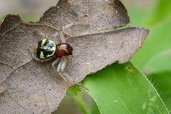 Imagen de la araña del cangrejo de Halloween Imagen de archivo