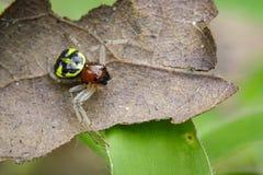 Imagen de la araña del cangrejo de Halloween Fotos de archivo libres de regalías