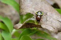 Imagen de la araña del cangrejo de Halloween en pasto marrón Fotos de archivo