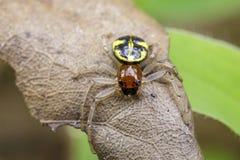 Imagen de la araña del cangrejo de Halloween y de x28; Formosus& x29 de Camaricus; Imágenes de archivo libres de regalías