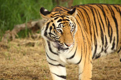 Imagen de la cabeza de un tigre adulto Imagenes de archivo
