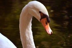 Imagen de la cara del cisne en piscina Imagenes de archivo