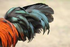 Imagen de la cola del gallo Imágenes de archivo libres de regalías