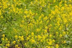 Imagen de la flor del canola y del campo amarillo Fotografía de archivo