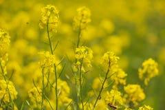 Imagen de la flor del canola y del campo amarillo Imagenes de archivo