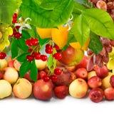 Imagen de la fruta madura en el cierre del jardín para arriba Fotografía de archivo