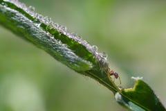 Imagen de la macro de la hormiga imagen de archivo