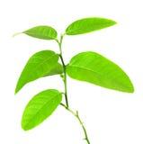Imagen de la planta verde aislada sobre blanco Fotografía de archivo