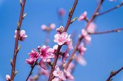 Imagen de la primavera Rama del flor del melocotón en fondo del cielo azul Imagen de archivo