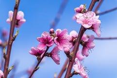 Imagen de la primavera Rama del flor del melocotón en fondo del cielo azul Foto de archivo