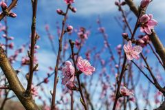 Imagen de la primavera Rama del flor del melocotón en fondo del cielo azul Fotos de archivo libres de regalías