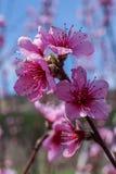 Imagen de la primavera Rama del flor del melocotón en fondo del cielo azul Imagen de archivo libre de regalías