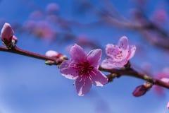 Imagen de la primavera Rama del flor del melocotón en fondo del cielo azul Imágenes de archivo libres de regalías