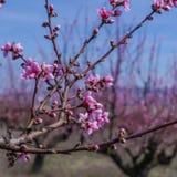 Imagen de la primavera Rama del flor del melocotón en fondo del cielo azul Fotos de archivo