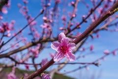 Imagen de la primavera Rama del flor del melocotón en fondo del cielo azul Imagenes de archivo
