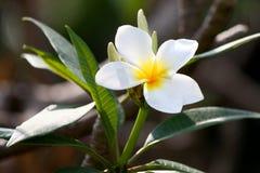 Flores blancas del frangipani Fotografía de archivo