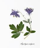 Imagen de las flores secadas firmadas en latín Imagen de archivo