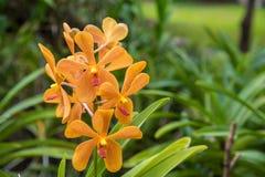 Imagen de las orquídeas amarillas hermosas de un Mokara en el jardín, Tailandia Imagen de archivo libre de regalías