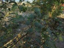 Imagen de las semillas de ricino fotos de archivo