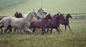 Imagen de los caballos salvajes de la bandada en el prado fotos de archivo libres de regalías