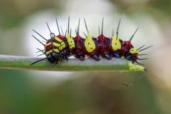 Imagen de los euanthes de Caterpillar del leopardo de un cyane del lacewingCethosis Imagen de archivo libre de regalías