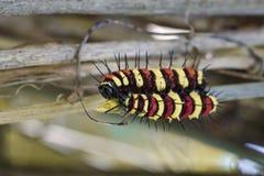 Imagen de los euanthes de Caterpillar del leopardo de un cyane del lacewingCethosis Imágenes de archivo libres de regalías
