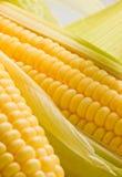 Imagen de los oídos de maíz Imagen de archivo libre de regalías