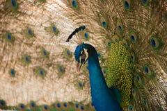 Imagen de los pavos reales que muestran plumas hermosas Imagen de archivo libre de regalías