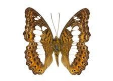 Imagen de los procris de comandante Butterfly Moduza Foto de archivo