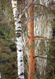 Imagen de los troncos de árboles de un abedul en un bosque Fotografía de archivo