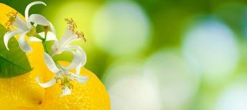 Imagen de naranjas en el primer verde del fondo fotos de archivo libres de regalías