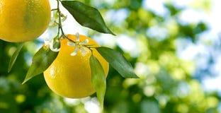 Imagen de naranjas en un cierre de la rama para arriba fotografía de archivo