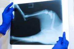 Imagen de observación de la radiografía del doctor del veterinario del perro que saltó del sofá y de la pierna arruinada foto de archivo