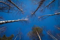 Imagen de ?rboles sin las hojas con el cielo azul cristalino sin las nubes fotografía de archivo libre de regalías