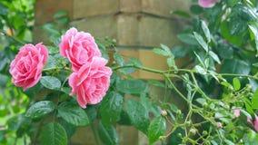 Imagen de tres rosas un fondo del ladrillo Imágenes de archivo libres de regalías