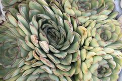 Imagen de un cactus Fotos de archivo libres de regalías