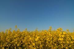 Imagen de un campo grande de la semilla oleaginosa Imagen de archivo