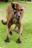 Imagen de un canguro australiano Imagenes de archivo