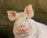 Imagen de un cerdo en la granja Foto de archivo libre de regalías