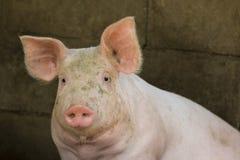 Imagen de un cerdo en la granja Fotografía de archivo