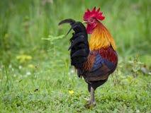 Imagen de un gallo en fondo de la naturaleza Foto de archivo libre de regalías