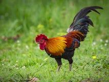 Imagen de un gallo en fondo de la naturaleza Imagen de archivo