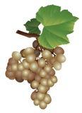 Imagen de un manojo de uvas Foto de archivo