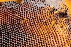 Imagen de un panal con una abeja de trabajo Fotos de archivo libres de regalías