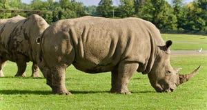 Imagen de un par de rinocerontes que comen la hierba Fotos de archivo libres de regalías