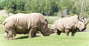 Imagen de un par de rinocerontes que comen la hierba Foto de archivo