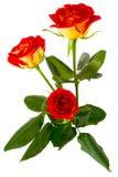 Imagen de un primer rojo del brote de la rosa Foto de archivo libre de regalías