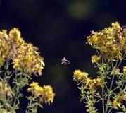 imagen de una abeja en flores amarillas del perforatum, de St John y de x27 del hypericum; valor de s Fotos de archivo